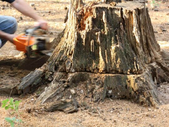 Stump Removal-Gibsonton FL Tree Trimming and Stump Grinding Services-We Offer Tree Trimming Services, Tree Removal, Tree Pruning, Tree Cutting, Residential and Commercial Tree Trimming Services, Storm Damage, Emergency Tree Removal, Land Clearing, Tree Companies, Tree Care Service, Stump Grinding, and we're the Best Tree Trimming Company Near You Guaranteed!