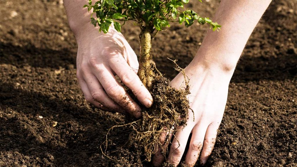 Tree Planting-Gibsonton FL Tree Trimming and Stump Grinding Services-We Offer Tree Trimming Services, Tree Removal, Tree Pruning, Tree Cutting, Residential and Commercial Tree Trimming Services, Storm Damage, Emergency Tree Removal, Land Clearing, Tree Companies, Tree Care Service, Stump Grinding, and we're the Best Tree Trimming Company Near You Guaranteed!